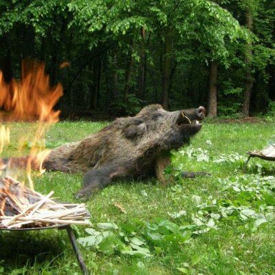 Wildschwein Pirsch- und Ansitzjagd mit reduzierten Preisen - Westungarn
